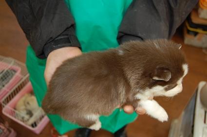 シベリアンハスキーの子犬No.200812034-2