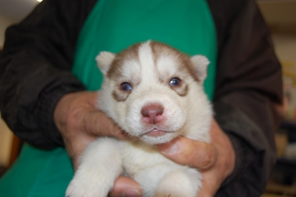 シベリアンハスキーの子犬No.200812035