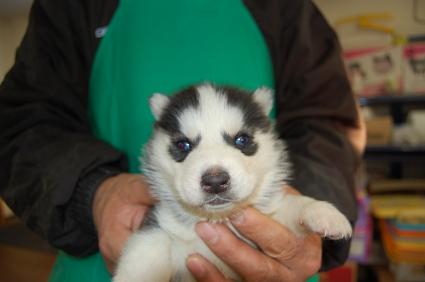 シベリアンハスキーの子犬No.200812031