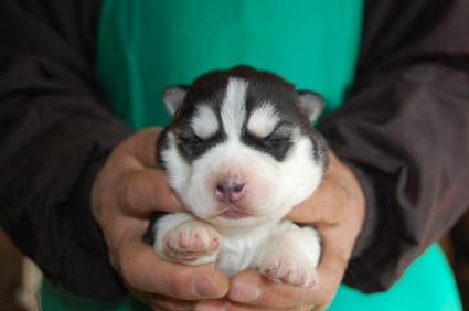 シベリアンハスキーの子犬No.200901082