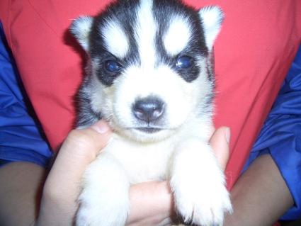 シベリアンハスキーの子犬No.200902026