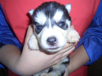 シベリアンハスキーの子犬No.200902027