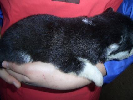 シベリアンハスキーの子犬No.200902027-2