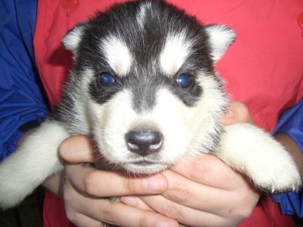 シベリアンハスキーの子犬No.200902022
