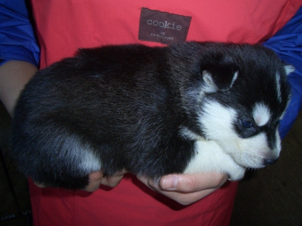シベリアンハスキーの子犬No.200902022-2