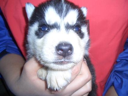 シベリアンハスキーの子犬No.200902024