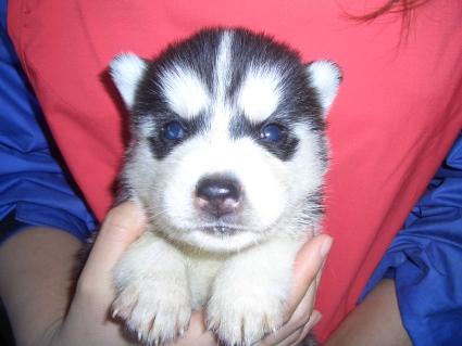 シベリアンハスキーの子犬No.200902025