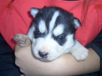 シベリアンハスキーの子犬No.200902131
