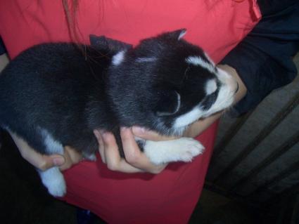シベリアンハスキーの子犬No.200902132