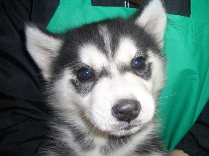 シベリアンハスキーの子犬No.200902111