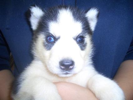 シベリアンハスキーの子犬No.200908123