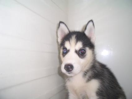 シベリアンハスキーの子犬No.200908121