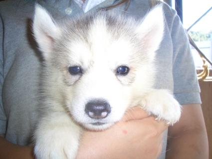 シベリアンハスキーの子犬No.200907131