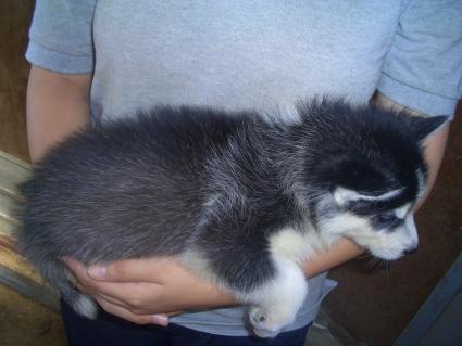 シベリアンハスキーの子犬No.200907132