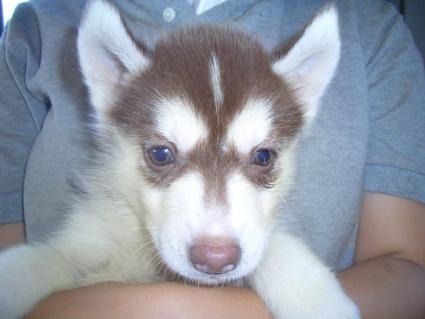 シベリアンハスキーの子犬No.200907133