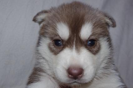 シベリアンハスキーの子犬No.200911074