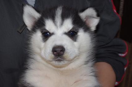 シベリアンハスキーの子犬No.200911131