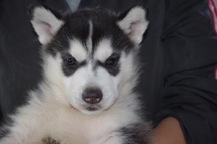 シベリアンハスキーの子犬No.200911132