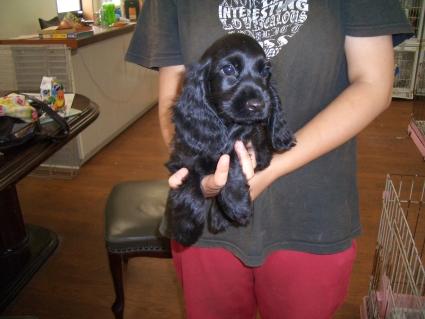 イングリッシュコッカースパニエルの子犬2