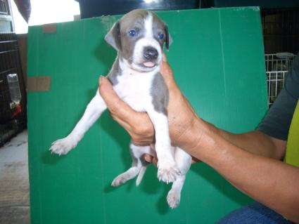 イタリアングレーハウンドの子犬3