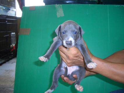 イタリアングレーハウンドの子犬1