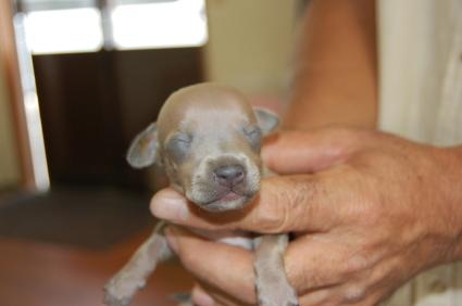 イタリアングレーハウンドの子犬No.200808075