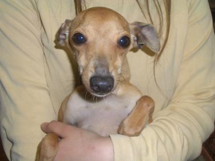 イタリアングレーハウンドの子犬No.200808071