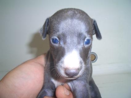 イタリアングレーハウンドの子犬No.200907291