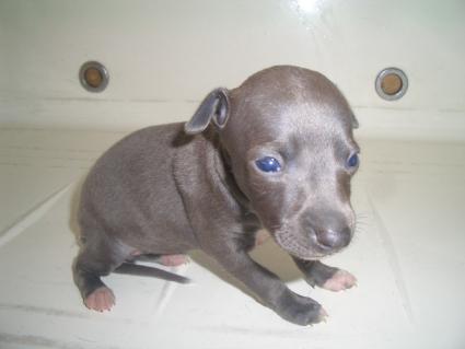 イタリアングレーハウンドの子犬No.200907295-2