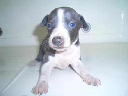 イタリアングレーハウンドの子犬No.200907294