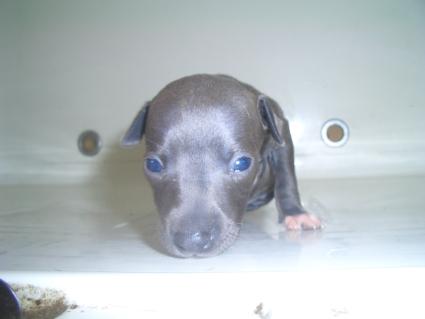 イタリアングレーハウンドの子犬No.200907295