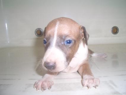 イタリアングレーハウンドの子犬No.200908054