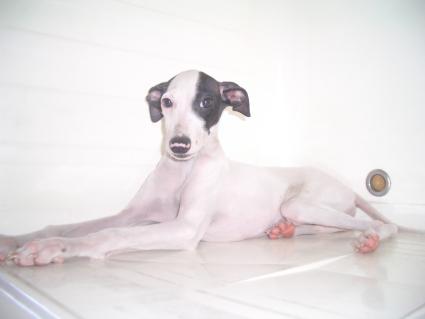 イタリアングレーハウンドの子犬No.200906181