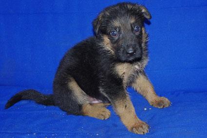 ジャーマンシェパードの子犬
