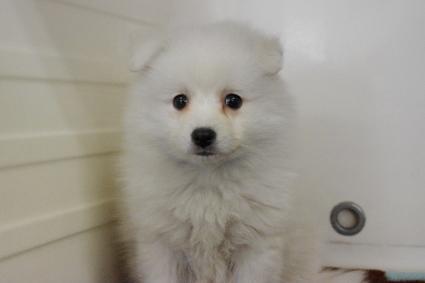 日本スピッツの子犬