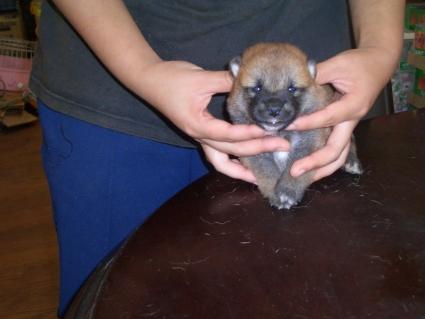 柴犬の子犬No.200808074