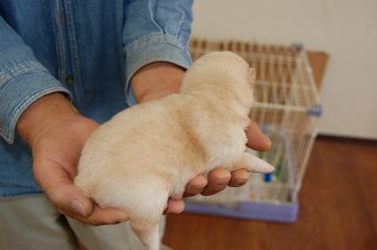 柴犬の子犬No.200810151-2
