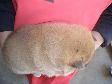 柴犬の子犬No.200902011