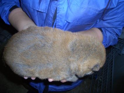 柴犬の子犬No.200902262