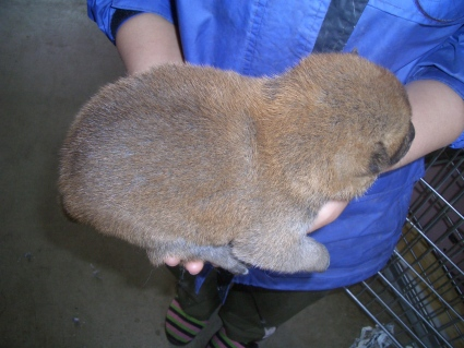 柴犬の子犬No.200902264