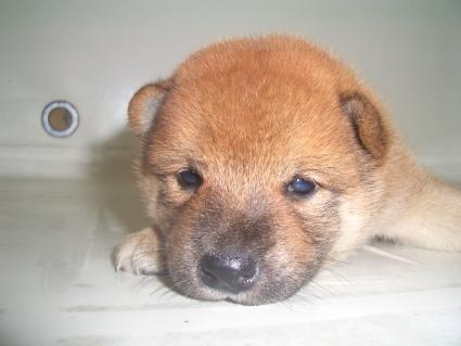 柴犬の子犬No.200908181
