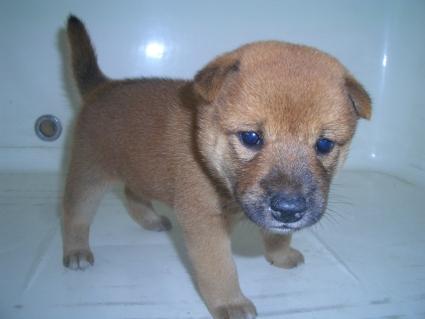 柴犬の子犬No.200908182