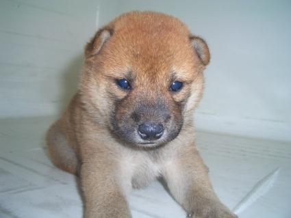 柴犬の子犬No.200908183