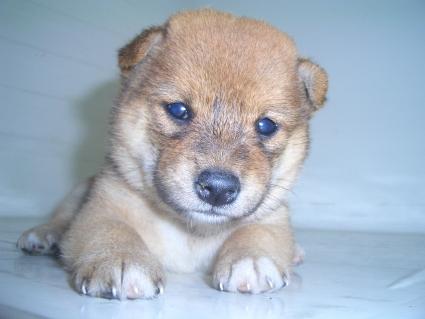 柴犬の子犬No.200908184
