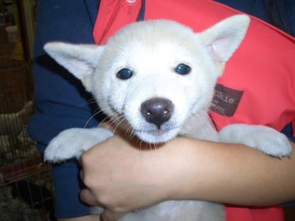 柴犬の子犬No.200908231