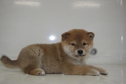 柴犬の子犬No.200910231