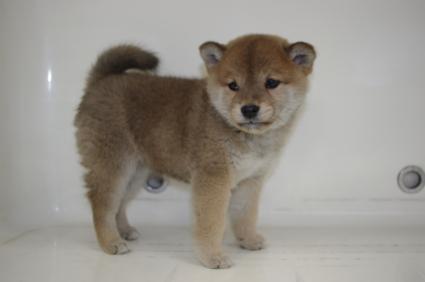 柴犬の子犬No.200910232