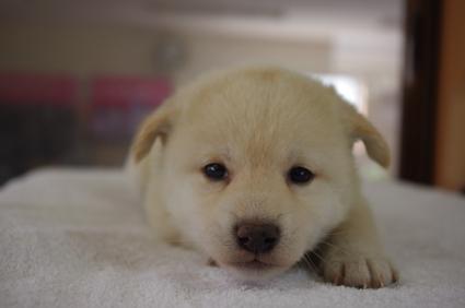 柴犬の子犬No.201001152