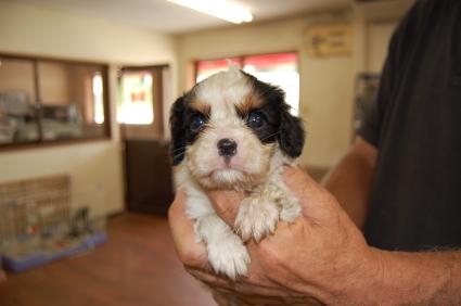 キャバリアキングチャールズスパニエルの子犬2