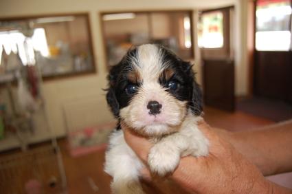 キャバリアキングチャールズスパニエルの子犬1